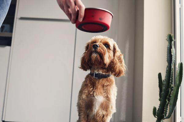 dog food allergies