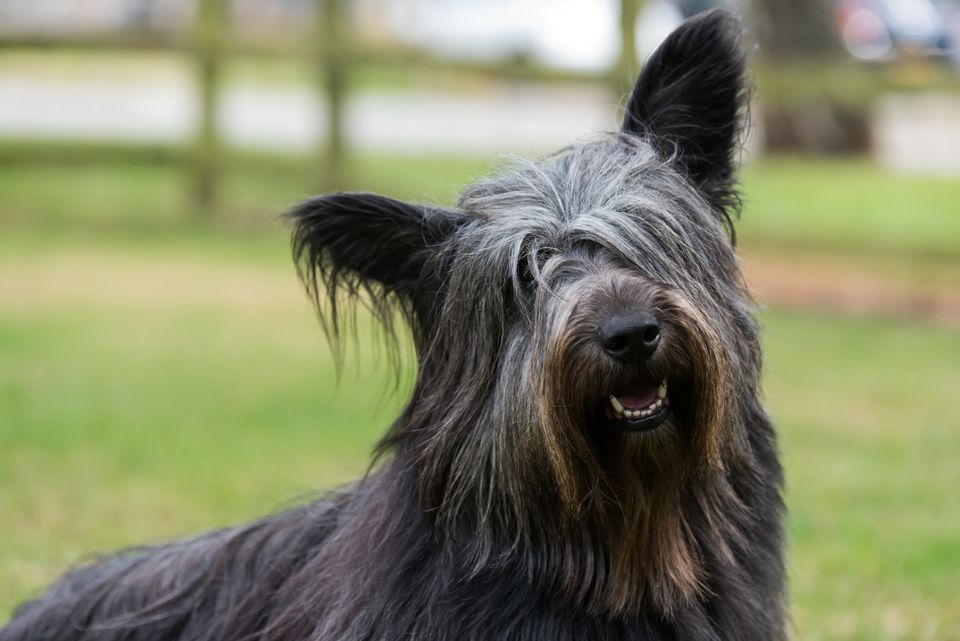 Black Skye Terrier outside smiling at camera.