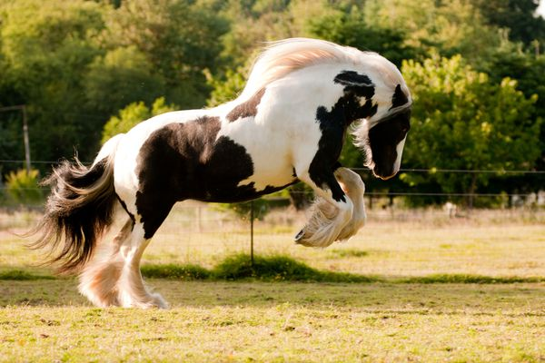 Gypsy horse playing in turnout.