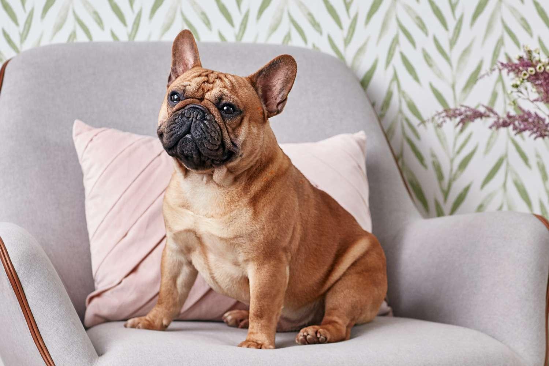 Bulldog francés sentado en una silla