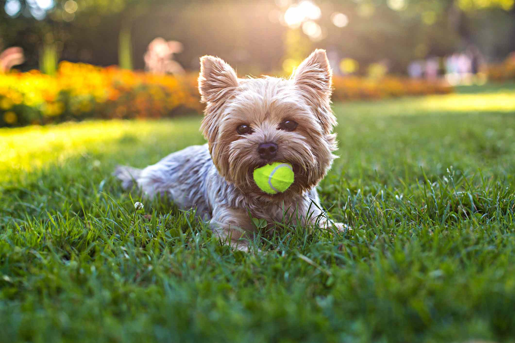 Yorkshire terrier in grass with tennis ball in mouth