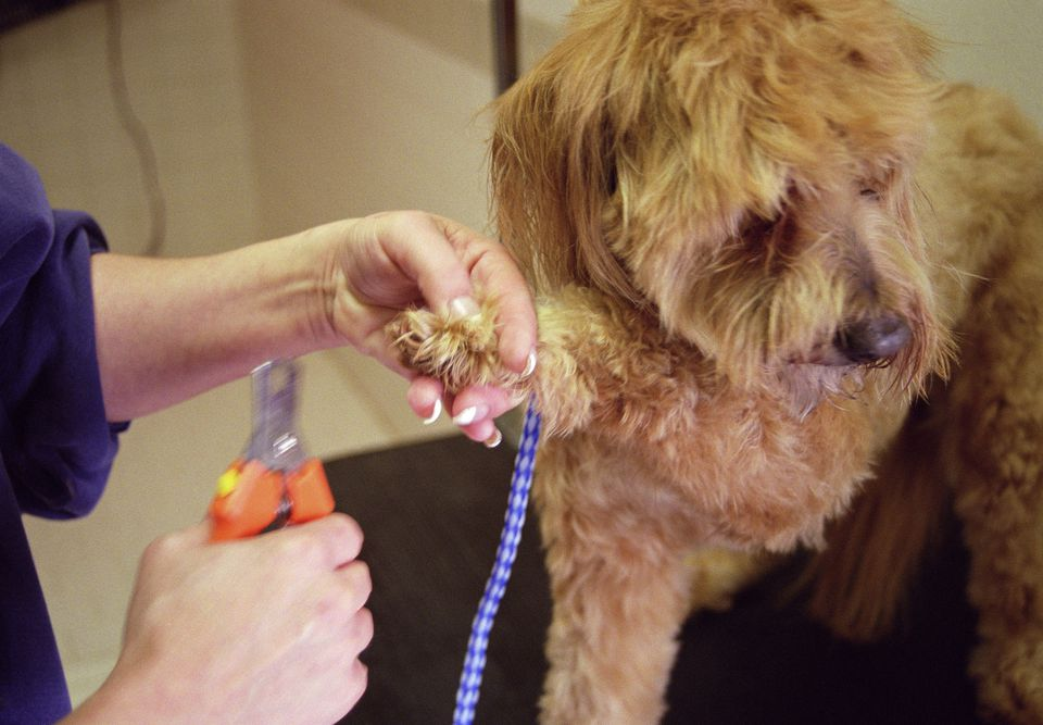 Puppy getting its nails clipped at the groomers