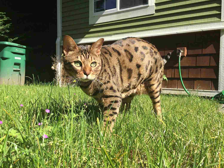 Cheetoh cat walking in grass