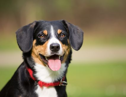 Appenzeller Sennenhund Full Profile History And Care