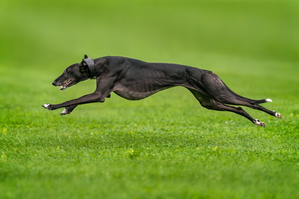 Black Greyhound running at full speed on grass