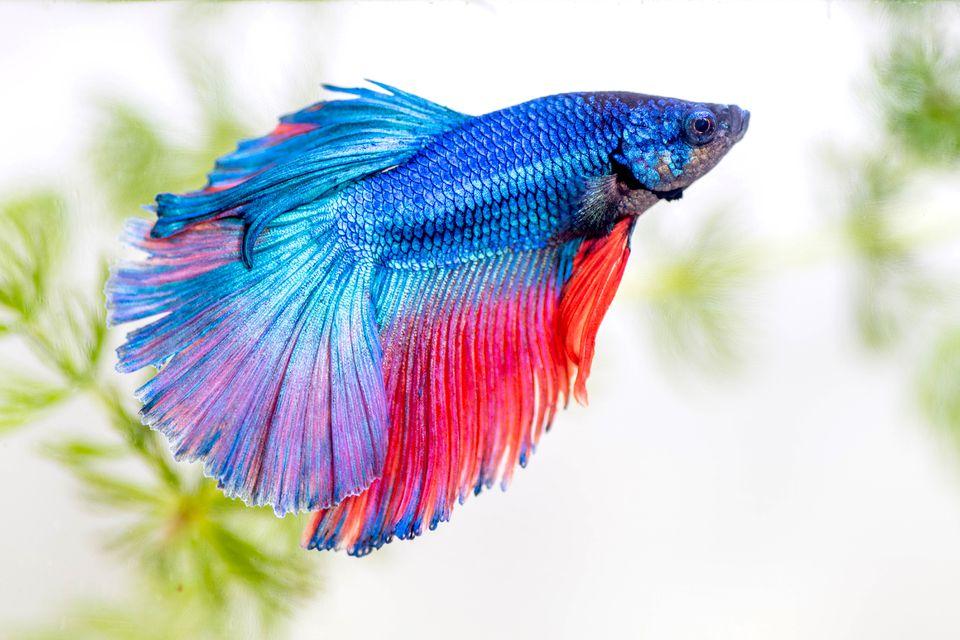 Bright blue and pink beta fish swimming in fresh-water tank closeup