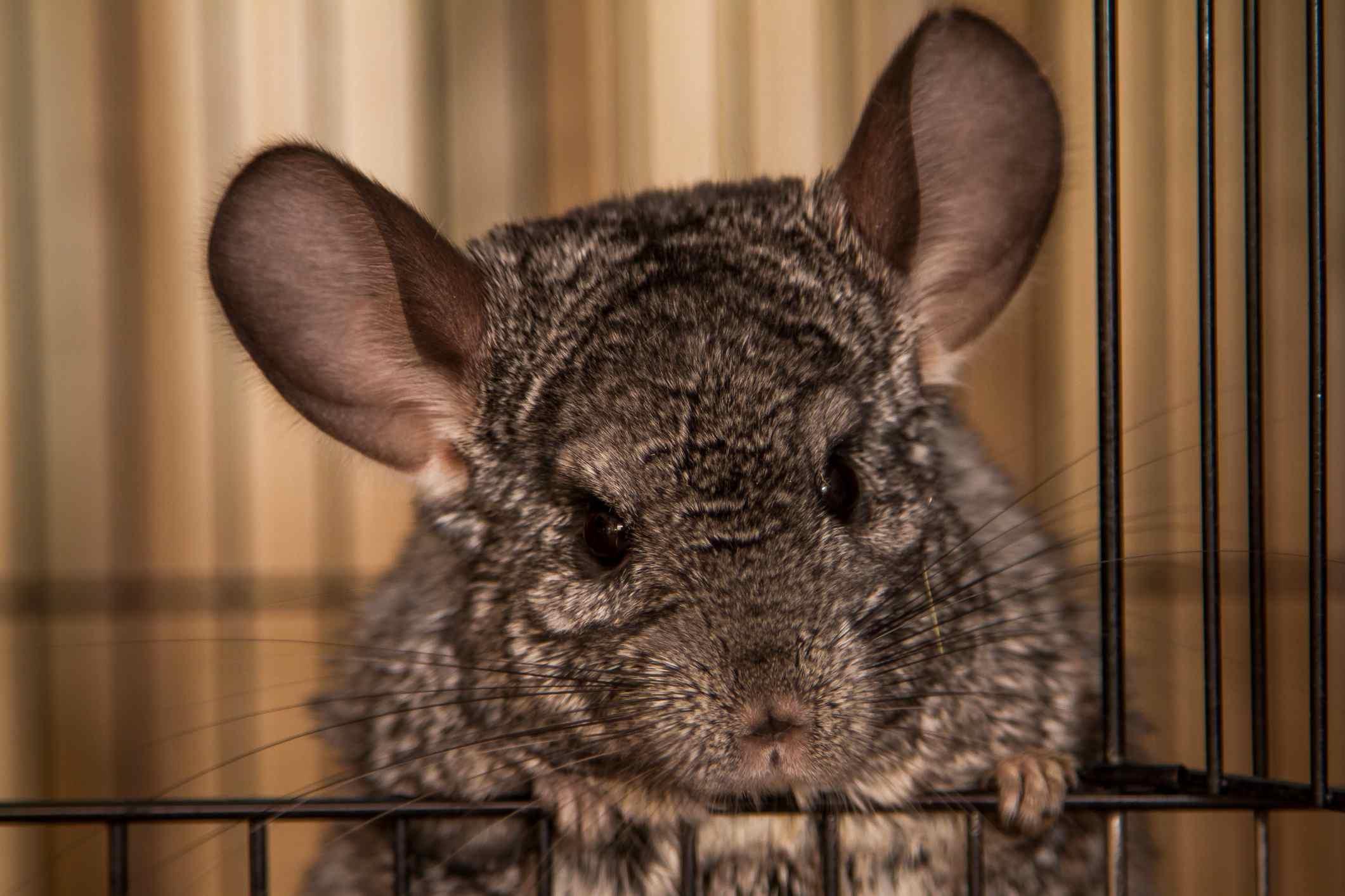 Close-Up Of A Chinchilla