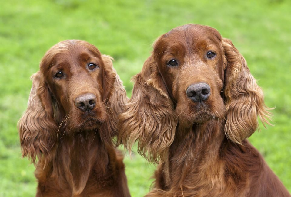 Two Irish setter dogs looking at camera