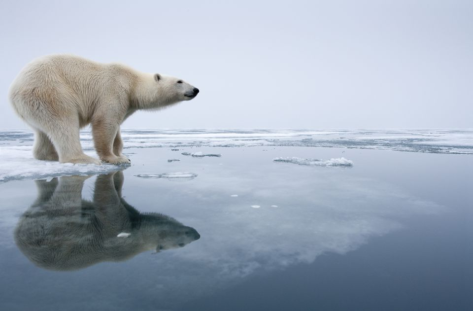 Polar Bear on Melting Ice, Svalbard, Norway