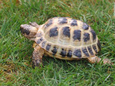 Sulcata Tortoises