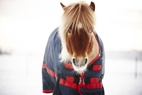 Icelandic horse wearing blanket