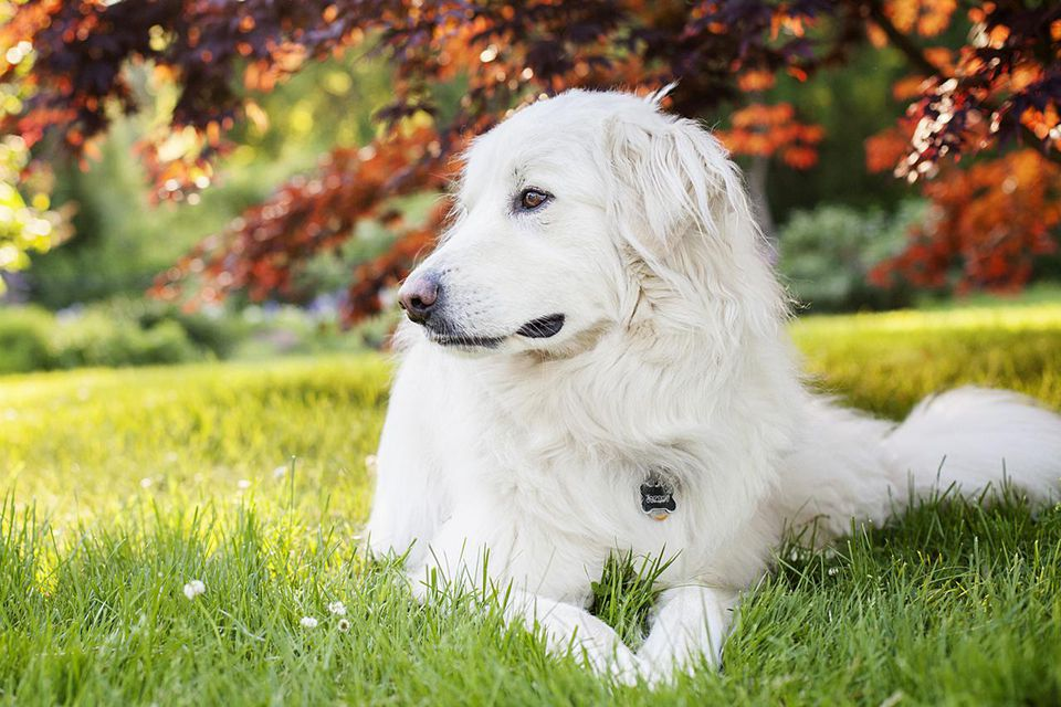 Great Pyrenees dog relaxing under a tree.