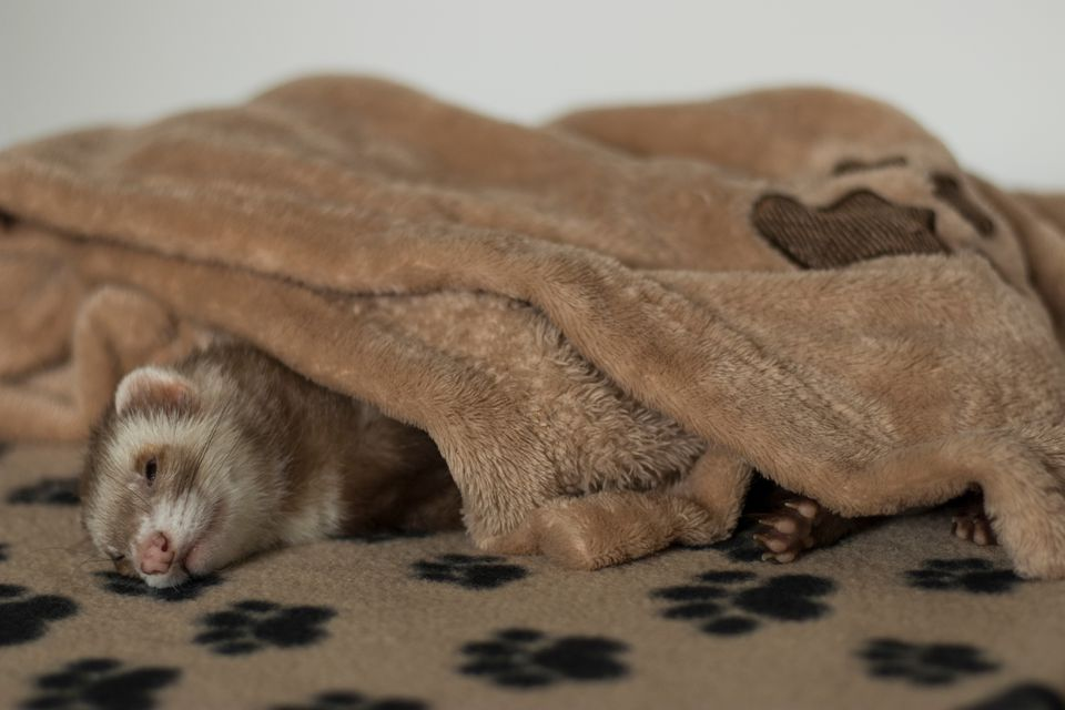 Ferret Sleeping at Home