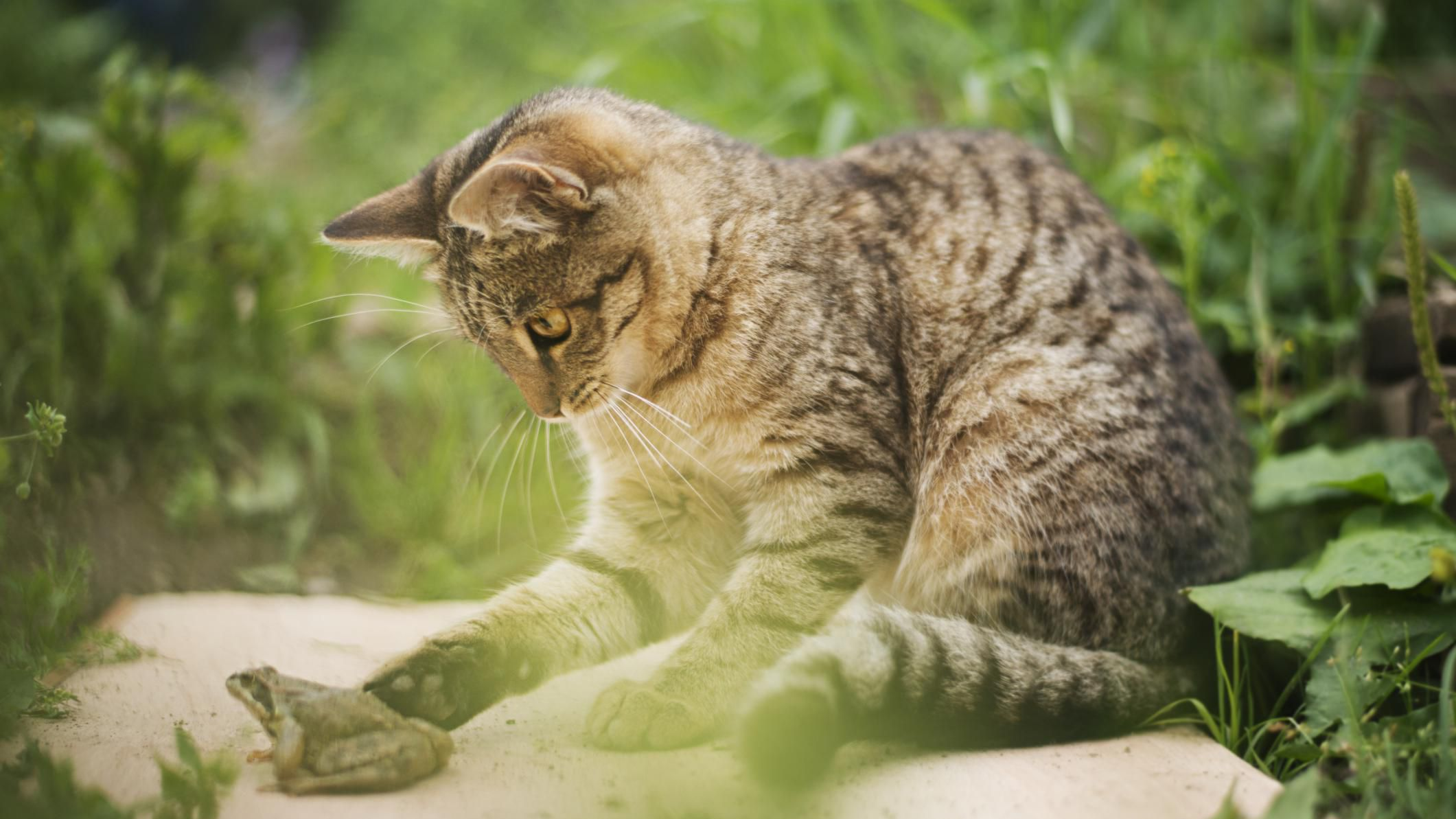 Feline Breeds Domestic Cats And Color Patterns