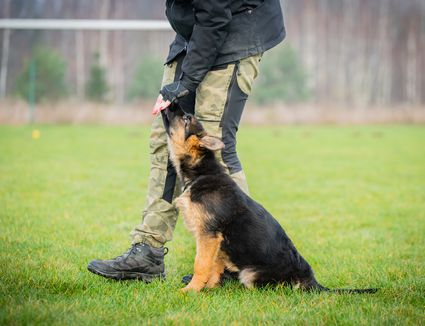 Cadaver dog in training