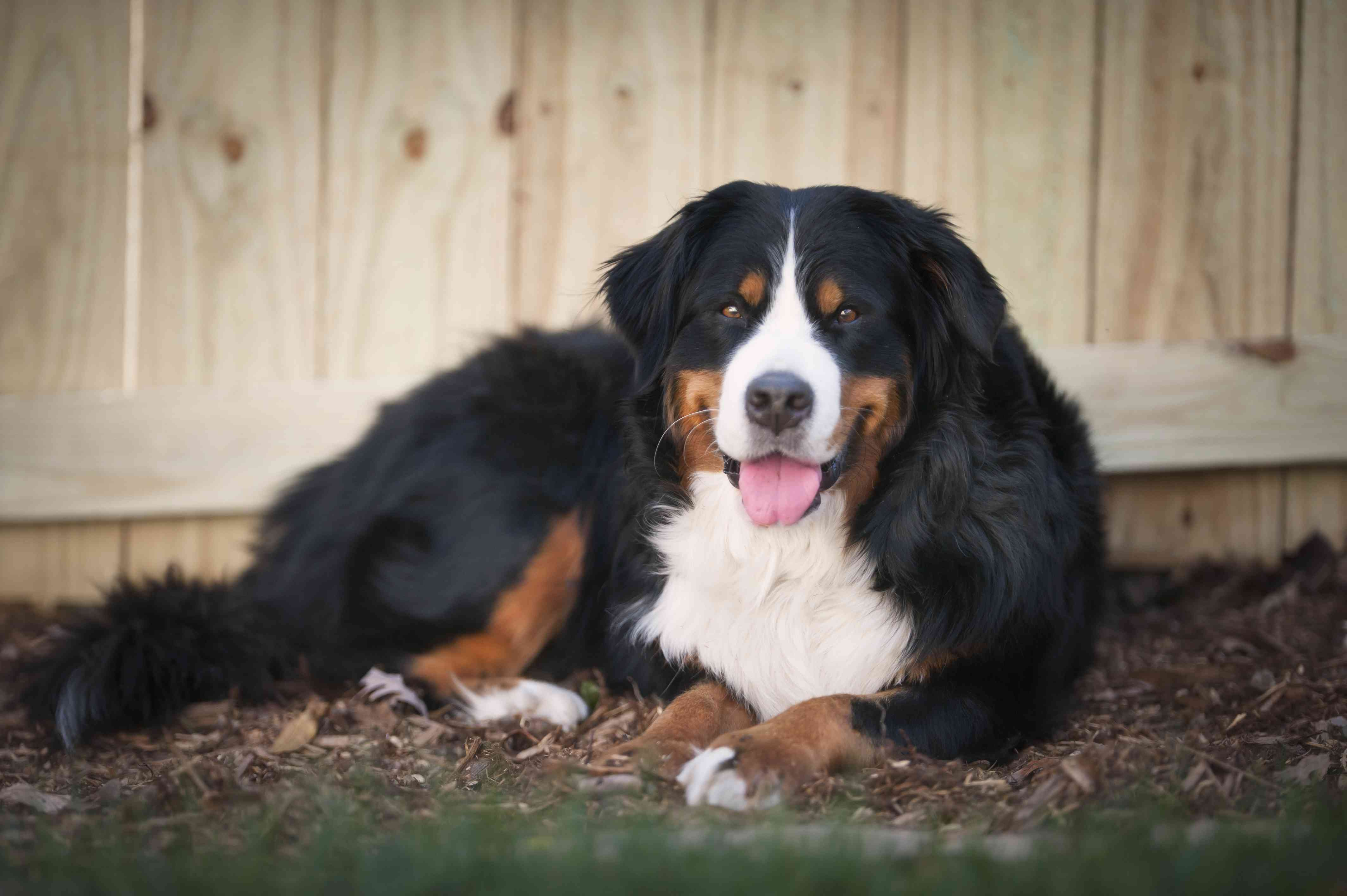 A Bernese Mountain Dog Sits Outside In the Grass and Mulch