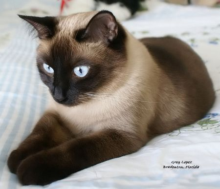 Siamese Cats Picture Gallery: 25 Photos of Meezers