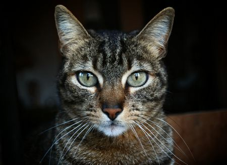 tabby cats history origin folklore and markings