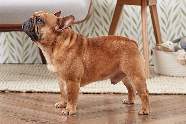 French bulldog standing indoors in profile