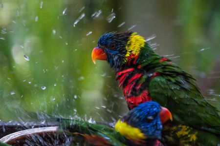 How to Give Your Pet Bird a Bath