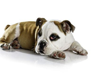 Dog with cherry eye