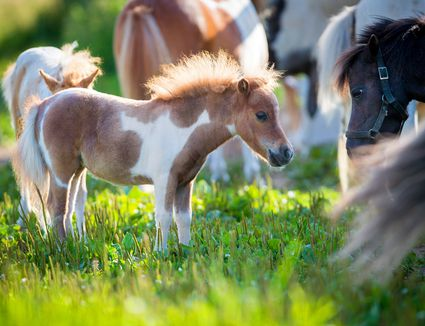Herd of small horses in pasture
