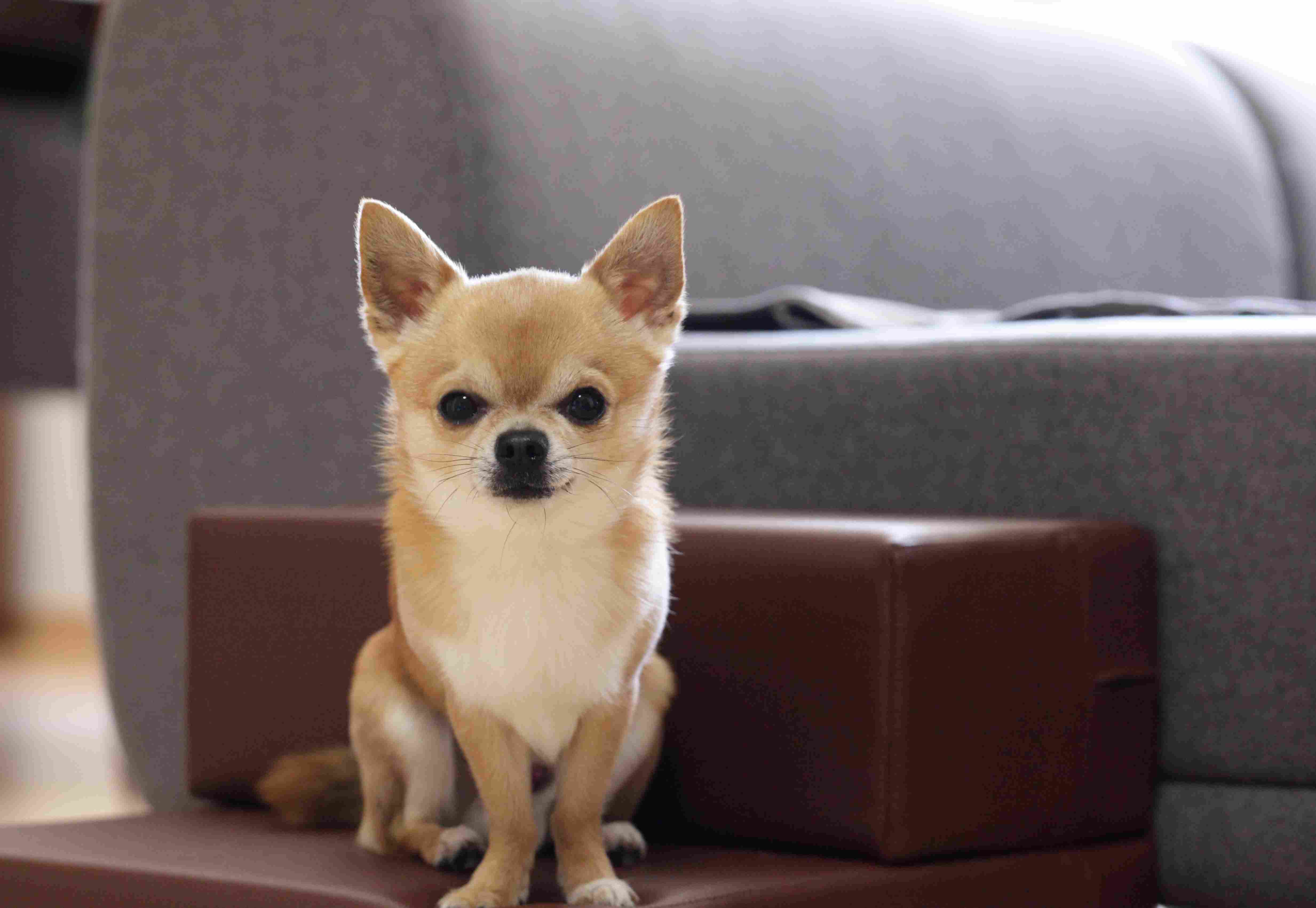 Chihuahua Dogs For Apartments