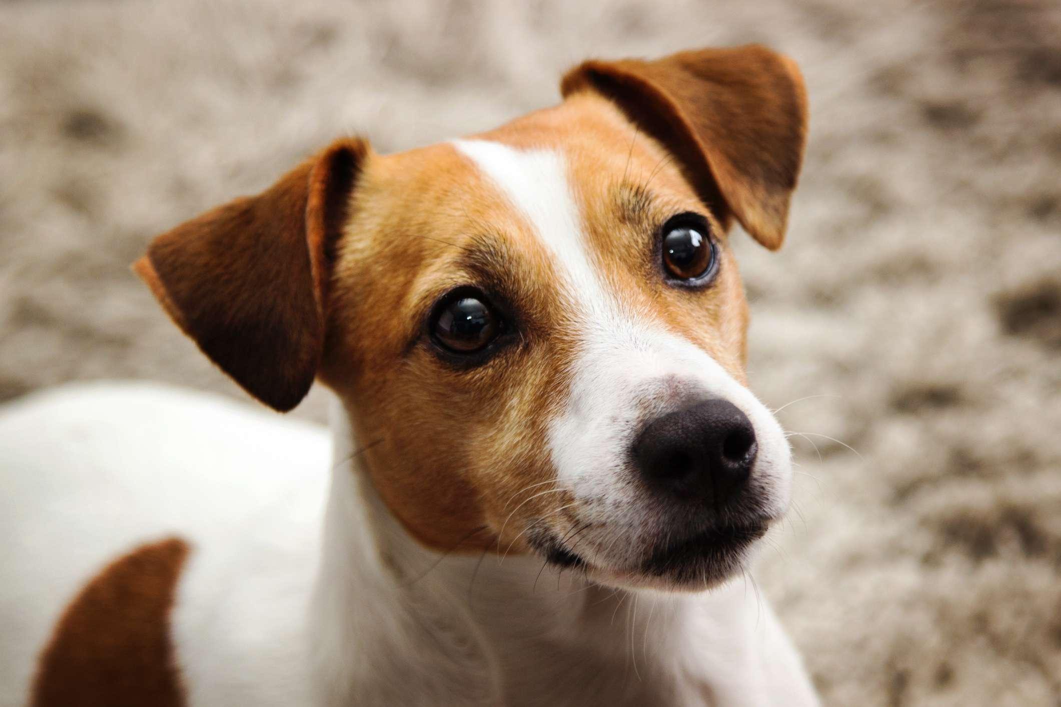 Jack Russell terrier looking alert