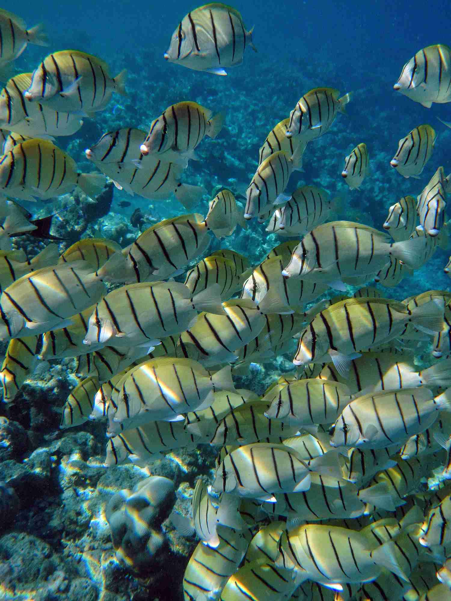 A school of convict tang fish