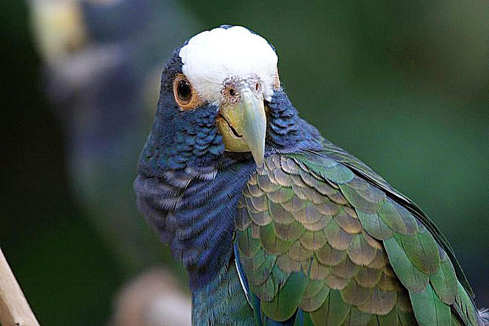 White-crowned Parrot or Plum-crowned Pionus (Pionus senilis) at Macaw Mountain Bird Park and Nature Reserve, Copan, Honduras.