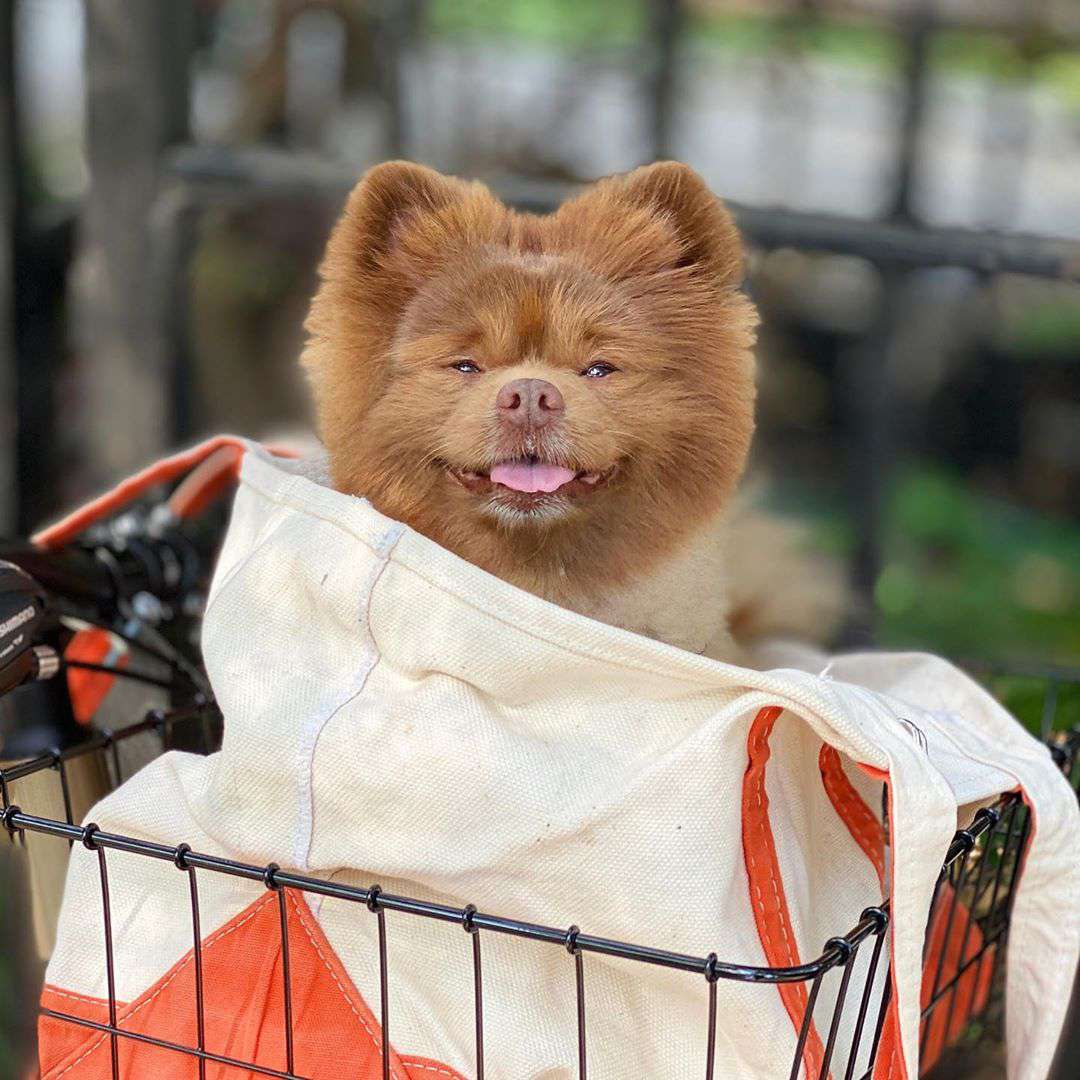 A brown pomeranian smiling while sitting in a bike basket.