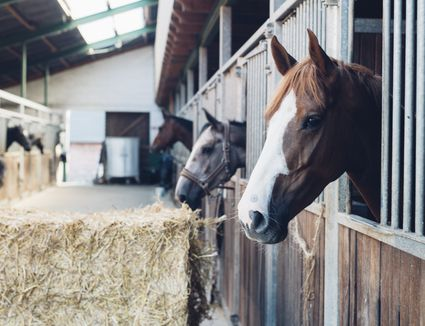 Horses sticking out of their stalls