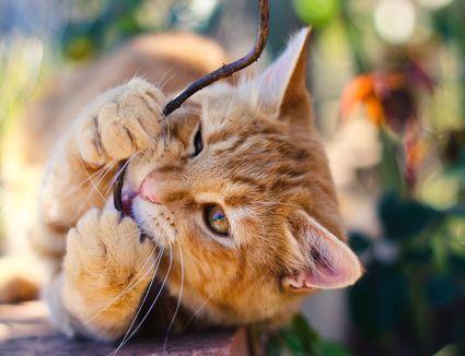 Cat chewing plant stem