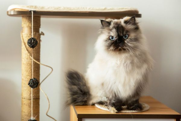 Himalayan cat on wooden table next to cat perch