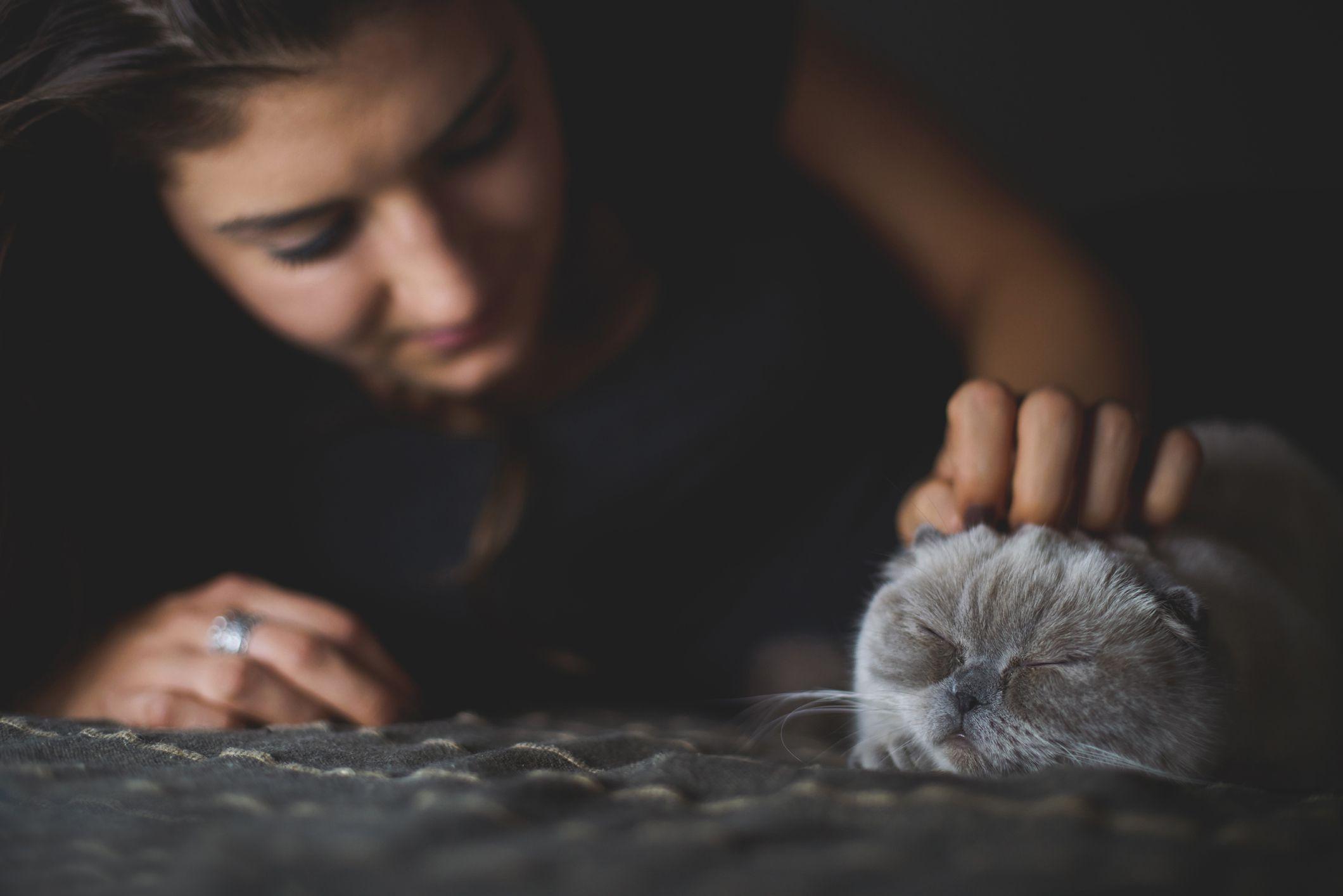 Sleeping Scottish Fold kitten being petted