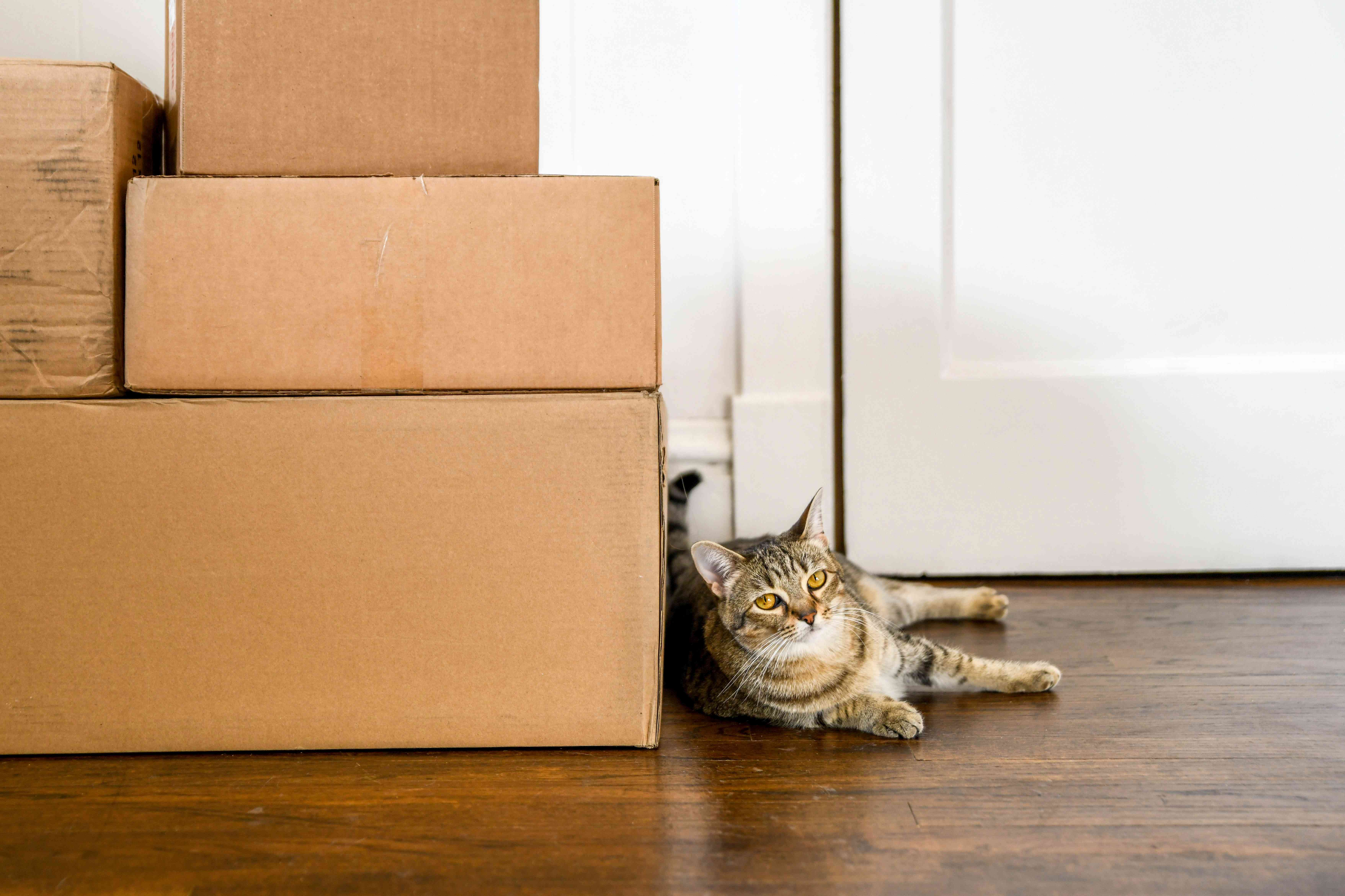 Brown cat laying next to cardboard boxes from moving