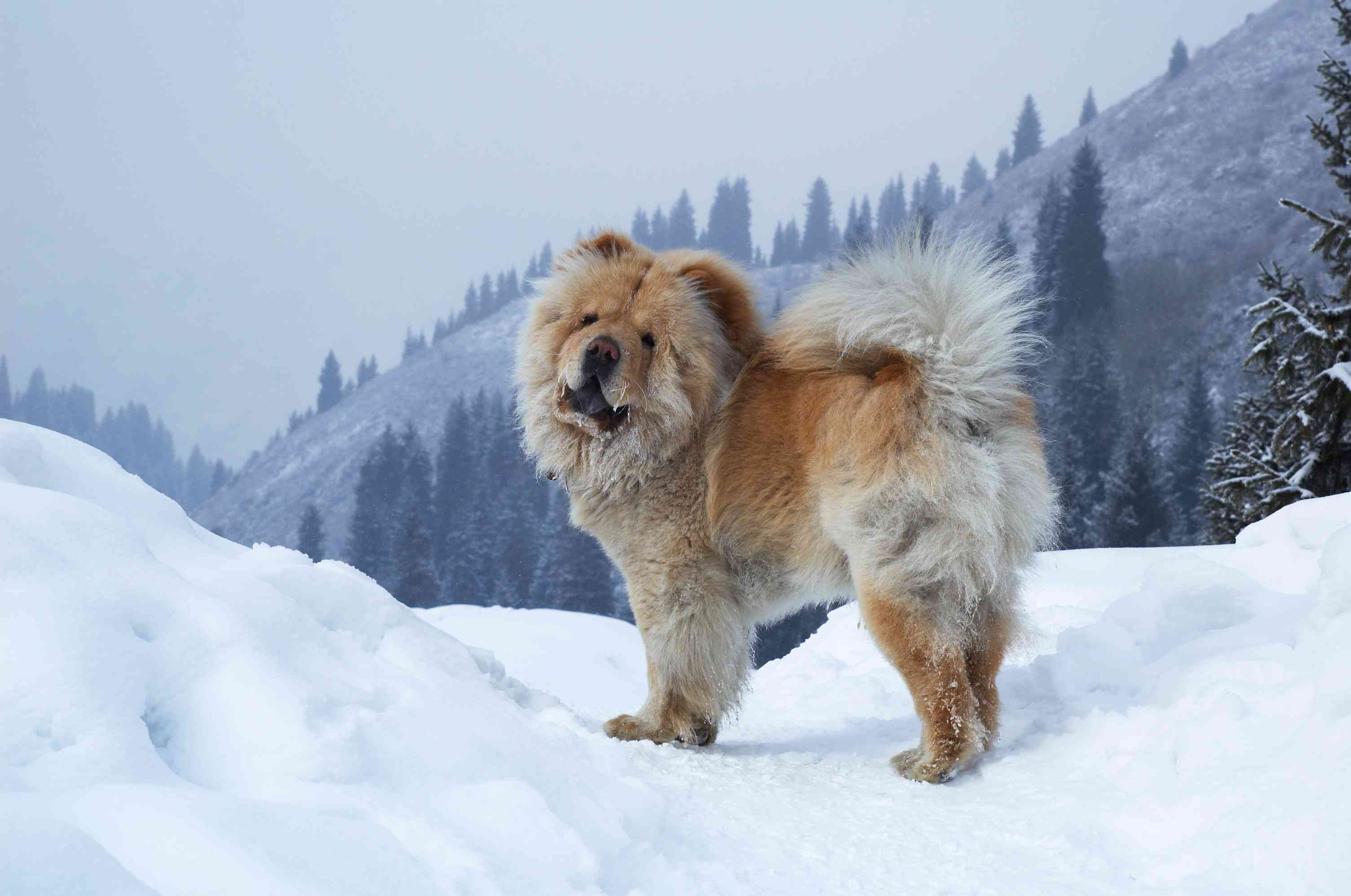 Chow chow standing in the snow