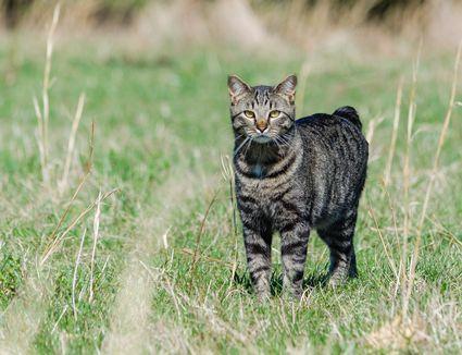 Portrait Of Manx Cat On Field