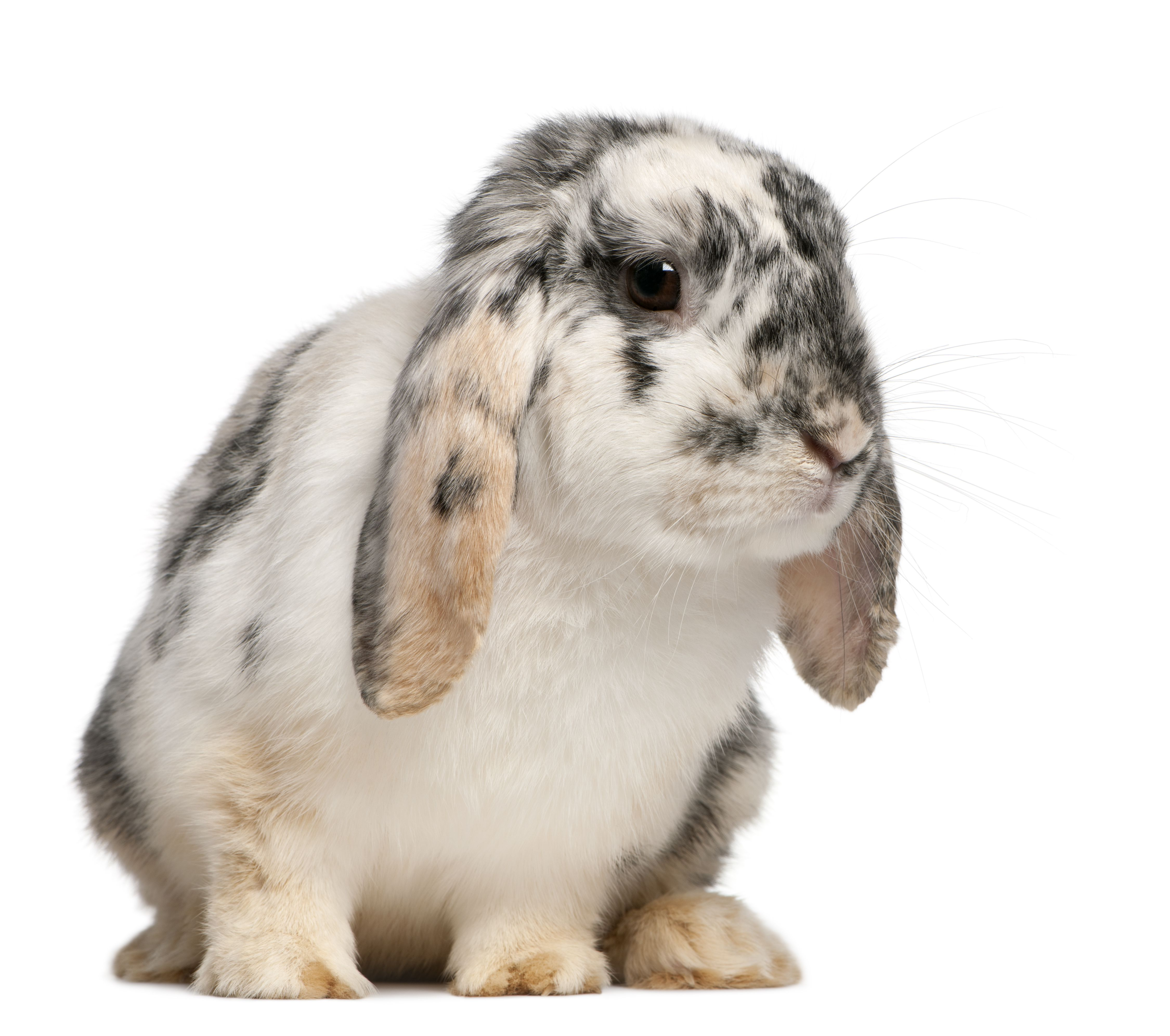 Tri Color spotted French Lop rabbit