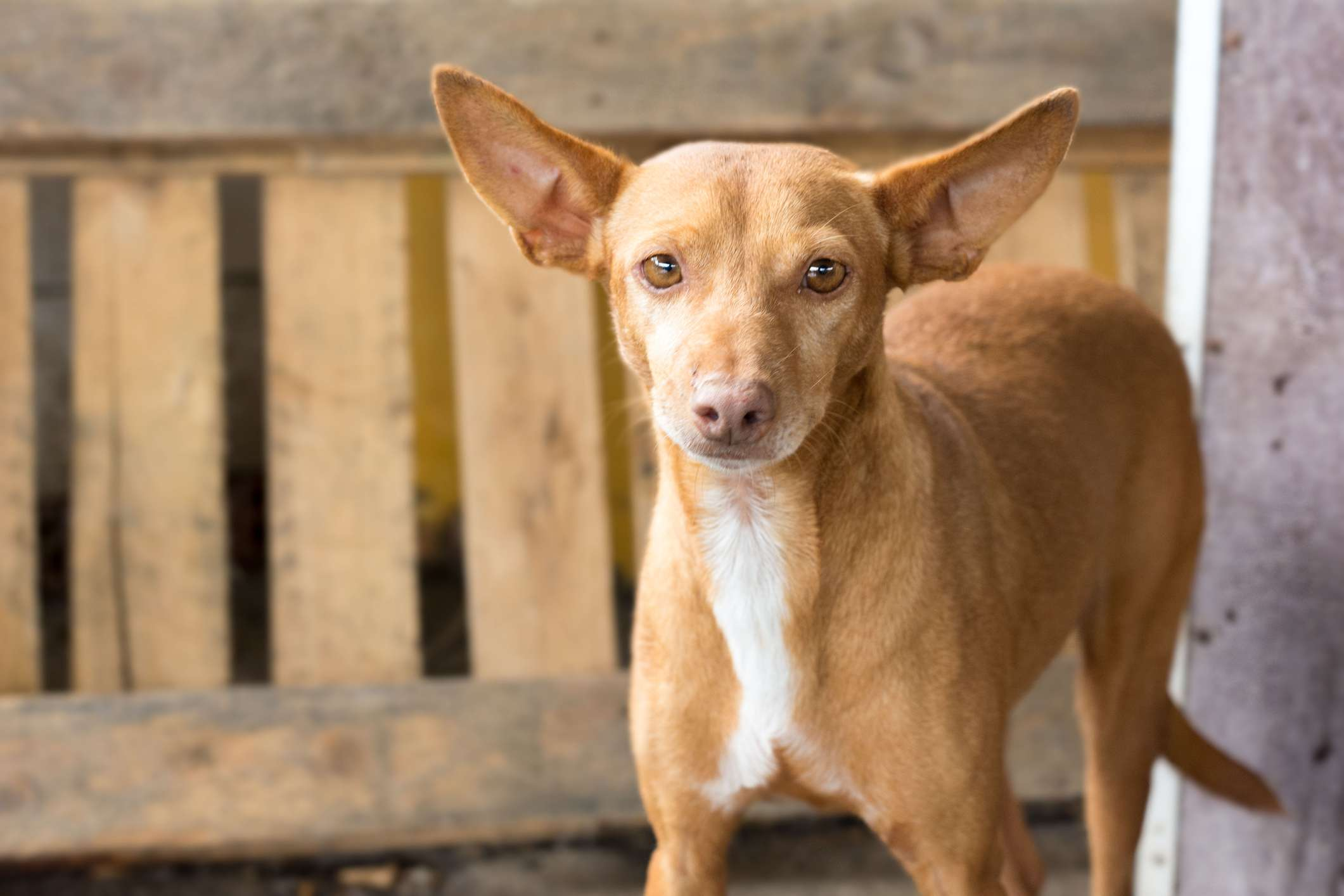 Podenco Canario standing in front of a wooden pallet