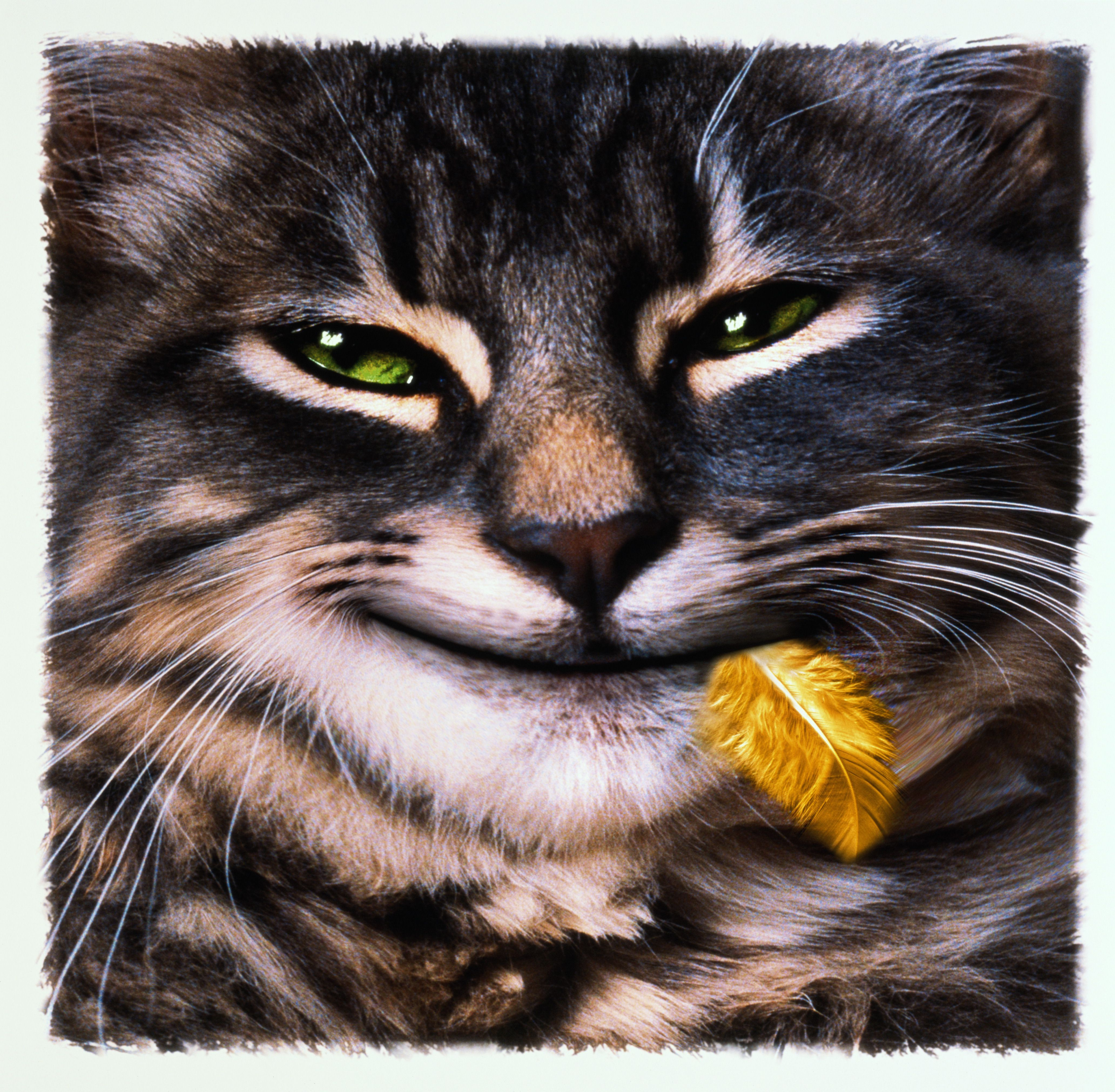 Cat with bird feather in mouth and smile on face (Digital Composite)