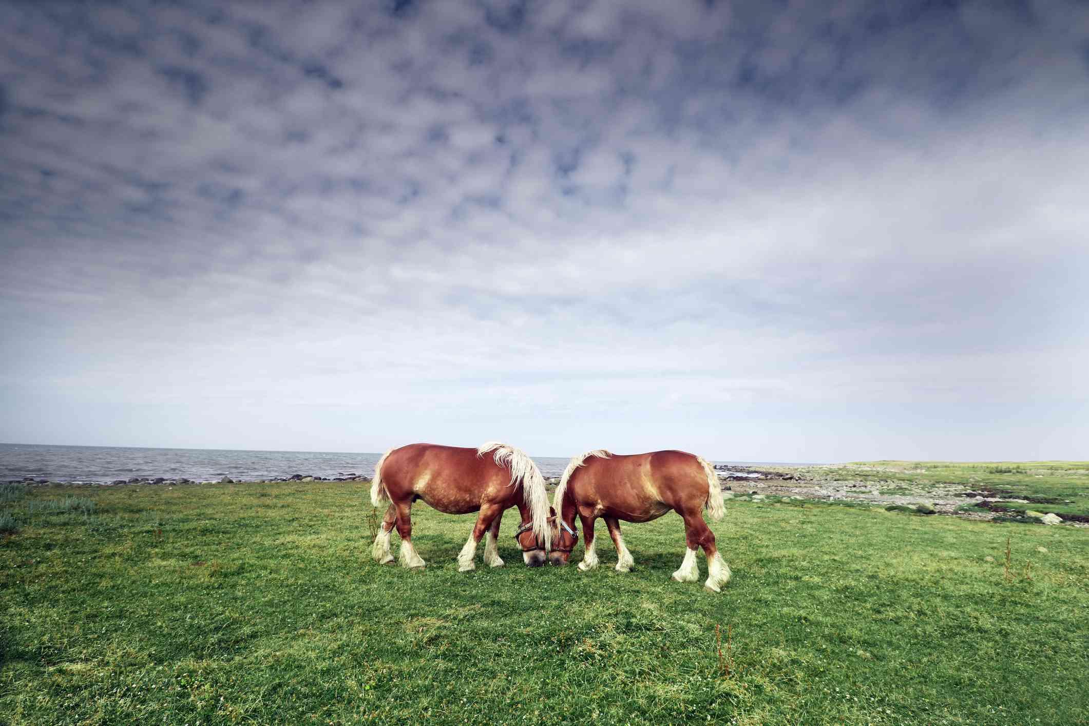 Un par de caballos Arden pastan afuera