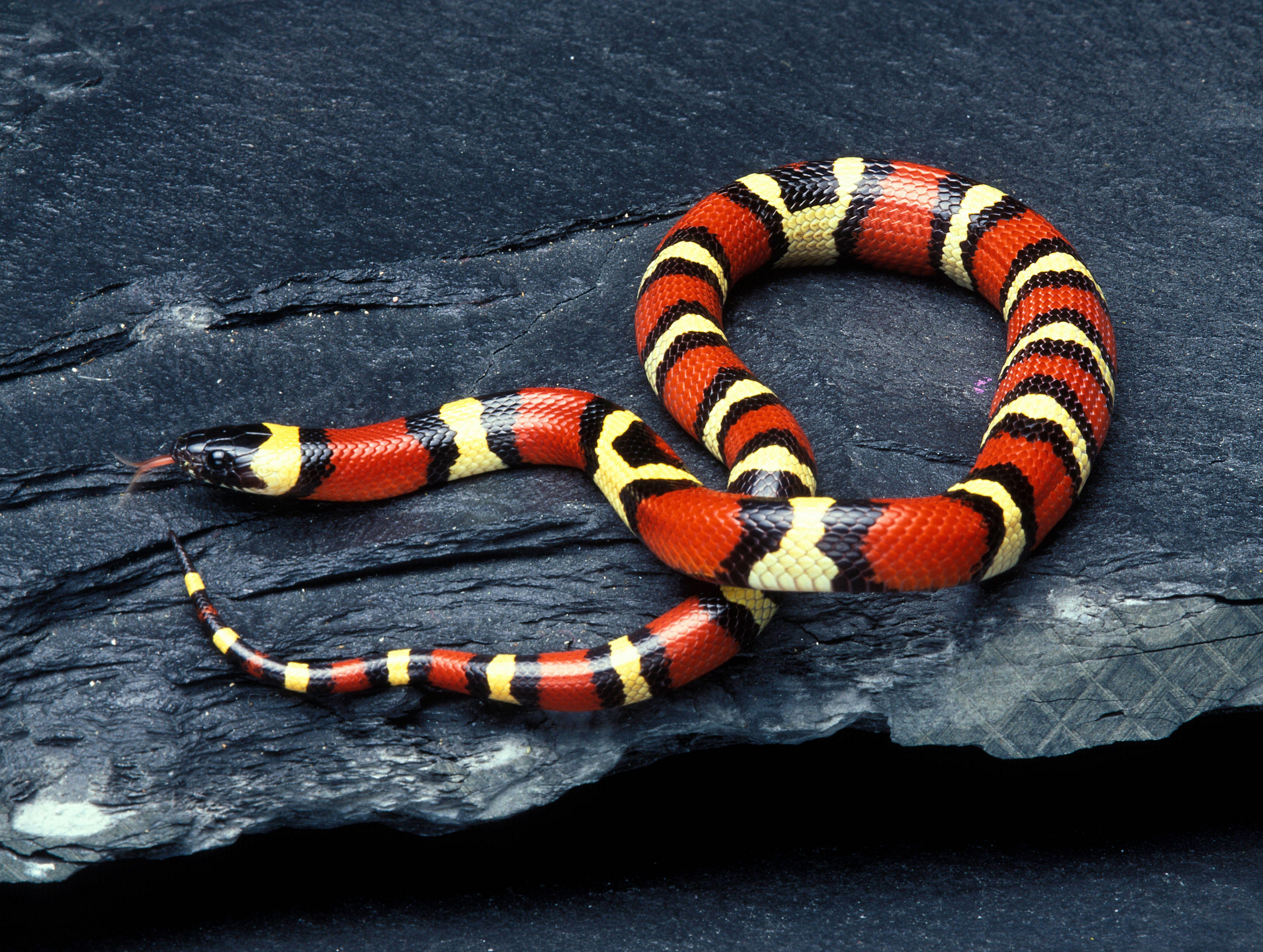 Serpiente de leche Pueblan (Lampropeltis triangulum campbelli)