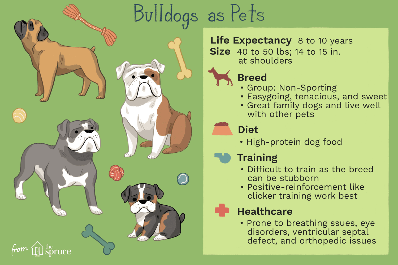 bulldogs as pets illustration