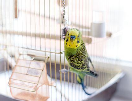 Pet bird in a bird cage