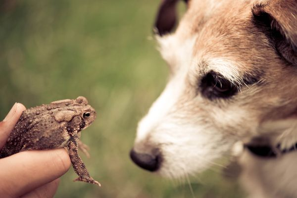 Dog staring at a toad in someone's hand