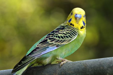 Parakeets and Budgies as Pets