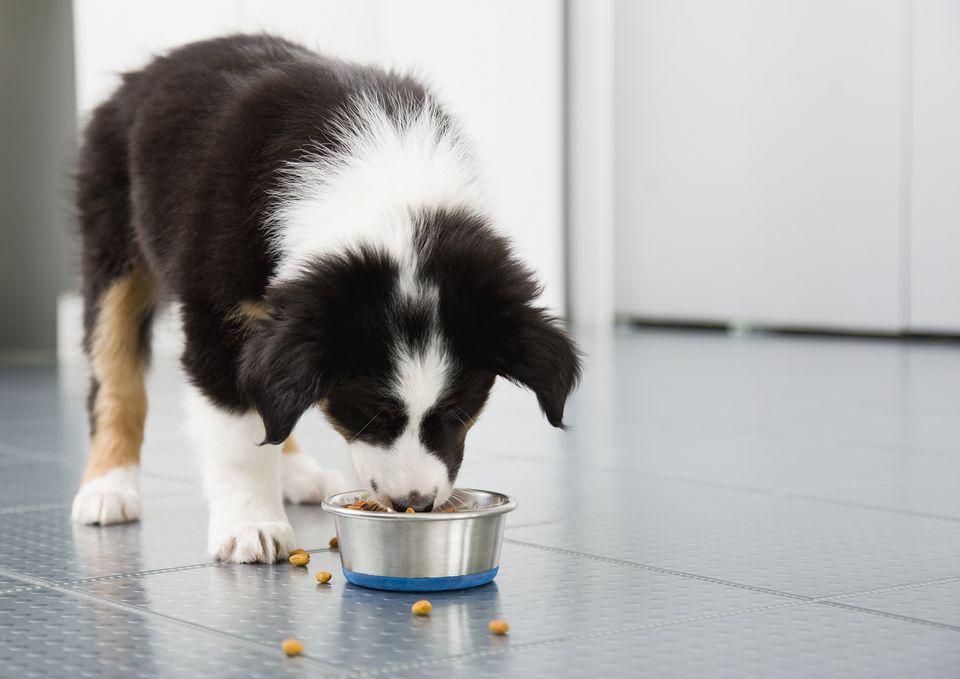 Border Collie cachorro comiendo del tazón