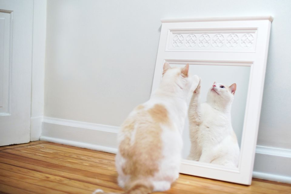 White cat playing with mirror reflection.