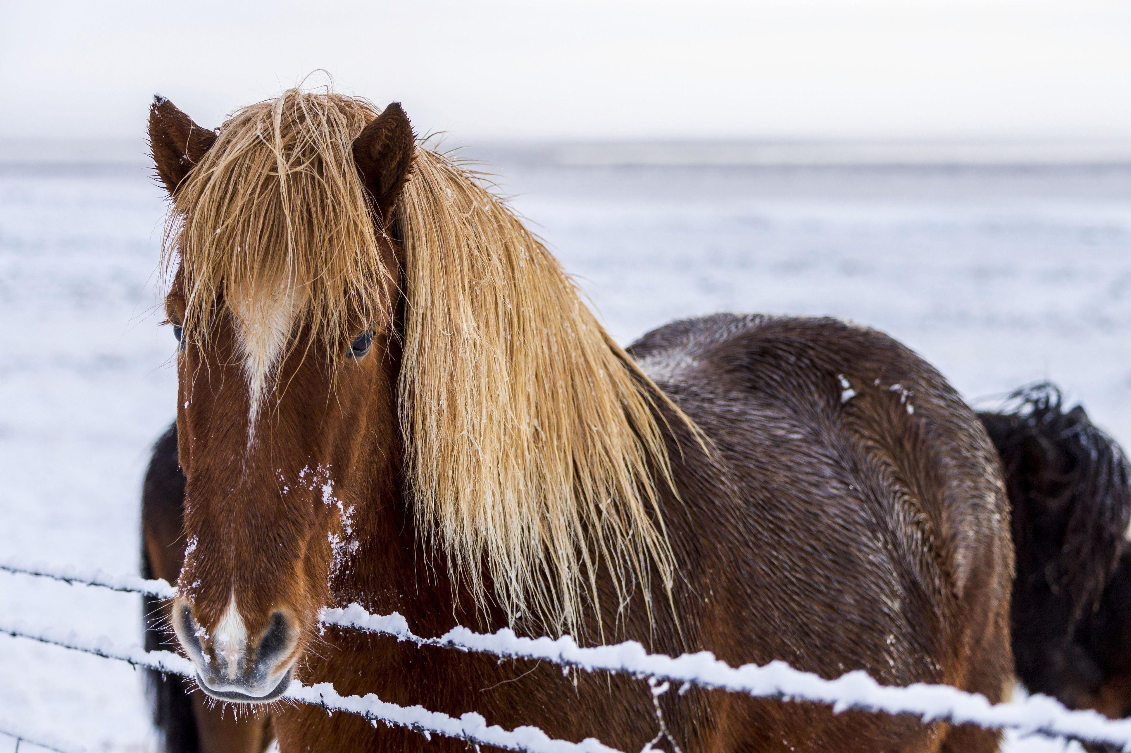 Iceland pony in wintery landscape, Laugarvatn, Iceland, Europe